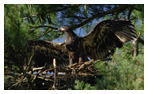 Bald Eagle Panoramic Photos 1