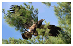 Bald Eagle Panoramic Photos 2