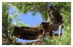 Bald Eagle Panoramic Photos 3