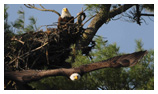 Bald Eagle Panoramic Photos 9