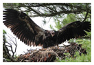 Bald Eagle Panoramic Photos 10