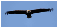 Bald Eagle Panoramic Photos 11