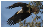 Bald Eagle Panoramic Photos 12