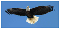 Bald Eagle Panoramic Photos 14