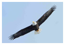 Bald Eagle Panoramic Photos 15