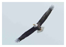 Bald Eagle Panoramic Photos 16