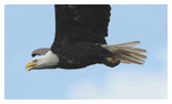 Bald Eagle Panoramic Photos 17