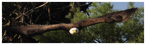 Bald Eagle Panoramic Photos 19