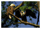 Bald Eagle Panoramic Photos 20