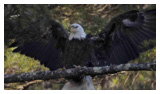 Bald Eagle Panoramic Photos 21