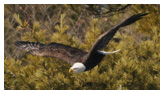 Bald Eagle Panoramic Photos 22