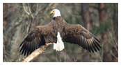 Bald Eagle Panoramic Photos 24