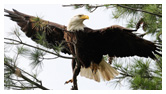 Bald Eagle Panoramic Photos 25