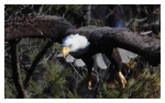 Bald Eagle Panoramic Photos 26