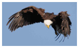 Bald Eagle Panoramic Photos 28