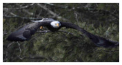 Bald Eagle Panoramic Photos 29