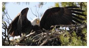 Bald Eagle Panoramic Photos 30