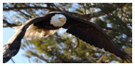 Bald Eagle Panoramic Photos 31