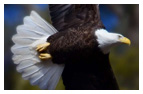 Bald Eagle Panoramic Photos 32