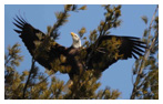 Bald Eagle Panoramic Photos 33