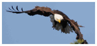 Bald Eagle Panoramic Photos 34