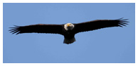 Bald Eagle Panoramic Photos 35