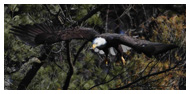 Bald Eagle Panoramic Photos 36
