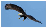 Bald Eagle Panoramic Photos 37